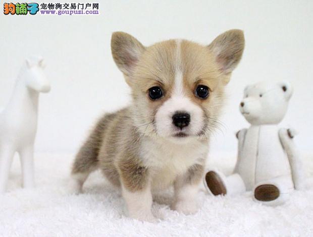 武汉售柯基幼犬 威尔士柯基犬幼犬疫苗驱虫已做可挑选2