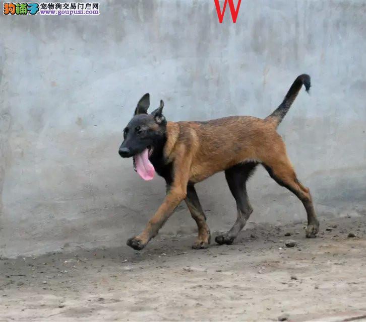 济南热卖马犬多只挑选视频看狗欢迎您的光临