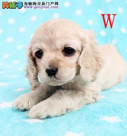 上海出售极品纯种可卡犬在这里优惠纯种和健康可签协议1