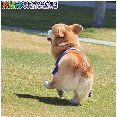犬舍直销纯种柯基幼犬健康保证3
