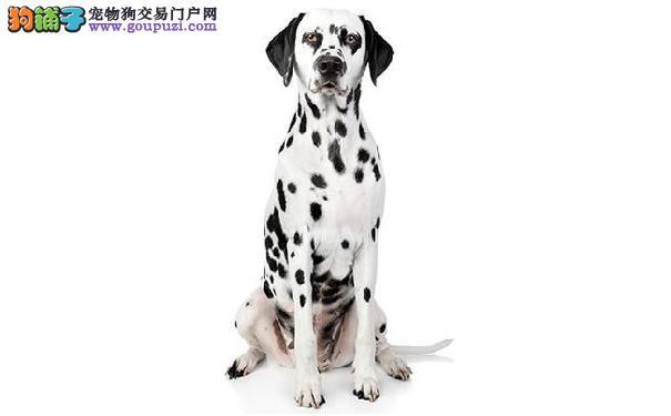 斑点狗好养吗 大麦町犬的性格特点