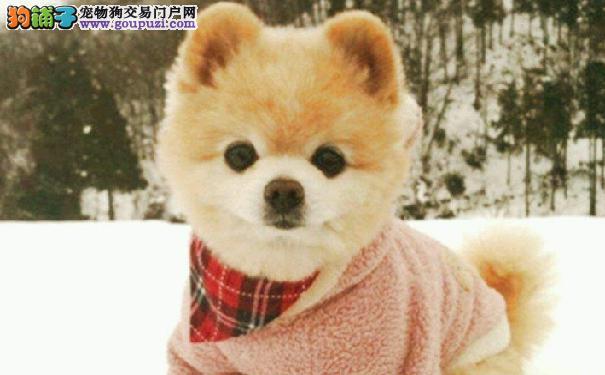 俊介君是什么狗 俊介是哈多利系博美犬