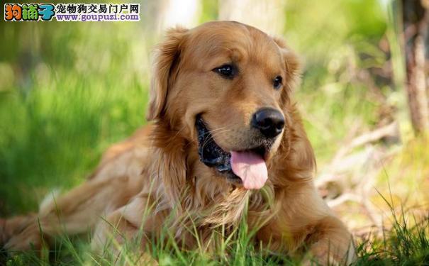 金毛寻回犬 金毛是犬界优雅黄金狮