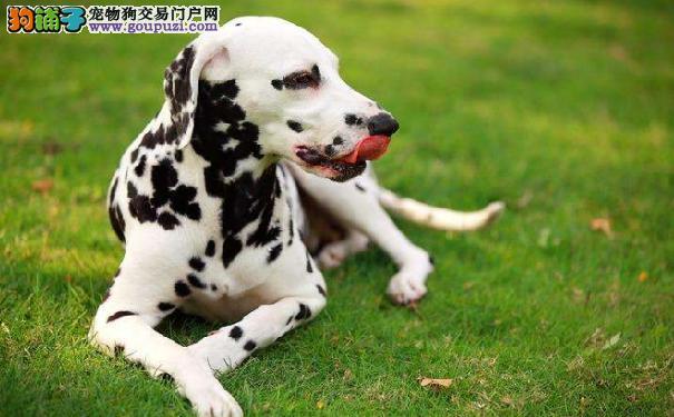大麦町电影你看过吗 斑点狗的起源