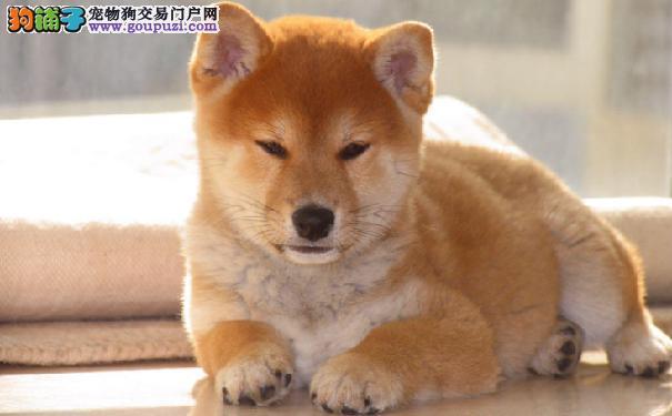 柴犬优缺点大公开 柴犬的性格特点