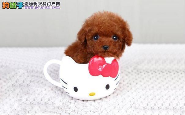 解密茶杯犬的寿命 茶杯犬价格