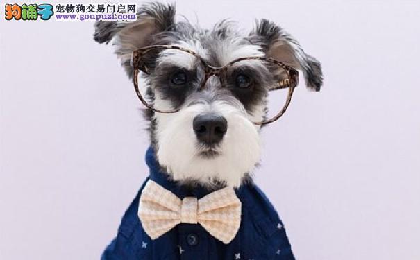 雪纳瑞好养吗 雪纳瑞是温和喜欢粘人的狗