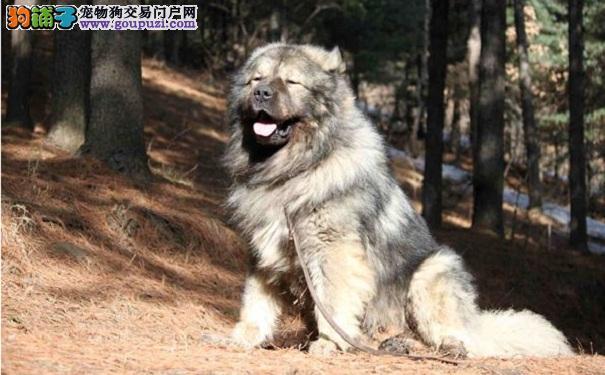 挑选高加索犬的方法 选购高加索必读