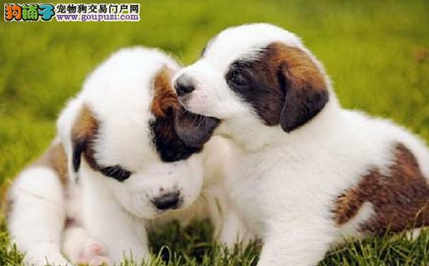 正确挑选圣伯纳犬幼犬的方法
