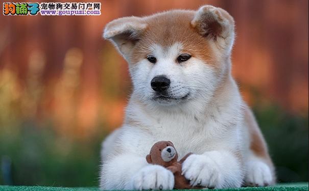 哪些人不适合饲养日本秋田犬