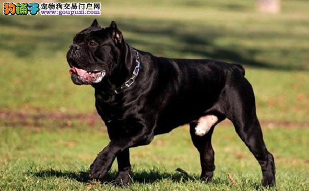 卡斯罗犬怎么挑选 买猛犬卡斯罗时应该看什么