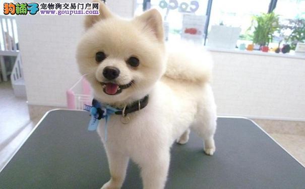 博美犬是家养小型犬中不错的选择