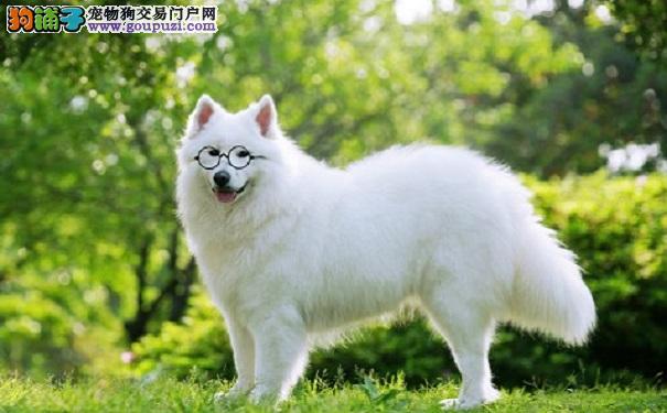 漂亮的日本尖嘴犬 养银狐犬的优点与缺点