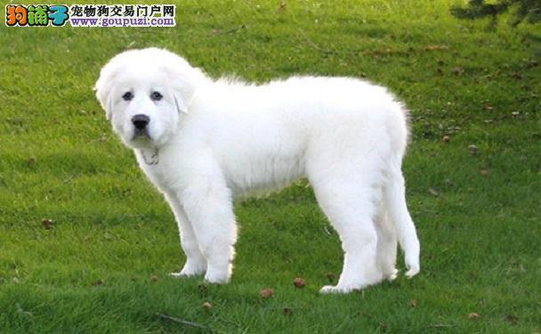 养大白熊犬前必知 自己是否适合饲养大白熊