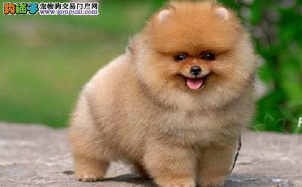 新手挑选博美犬的方法 选购俊介犬的注意事项