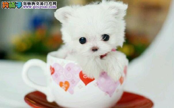 茶杯犬的寿命 茶杯犬一般可以活多久