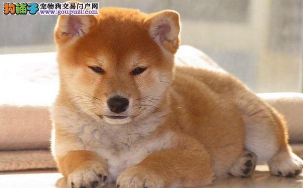 购买柴犬注意事项 买日系柴犬必知
