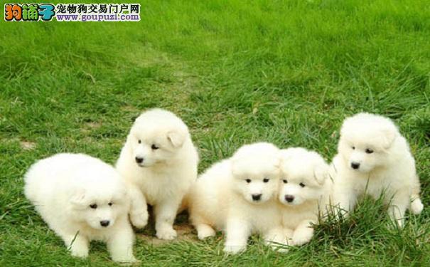 挑选萨摩耶幼犬的方法和注意事项