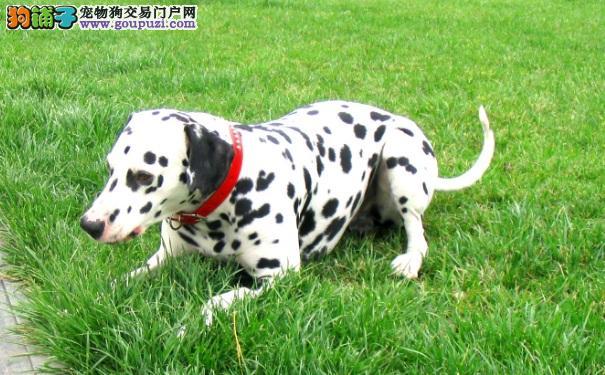 斑点狗怎么样 大麦町犬是否适合家养