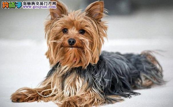 区分约克夏犬和丝毛梗犬的方法