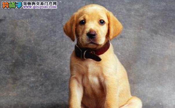 个性温和稳重,不具有攻击性的拉布拉多犬