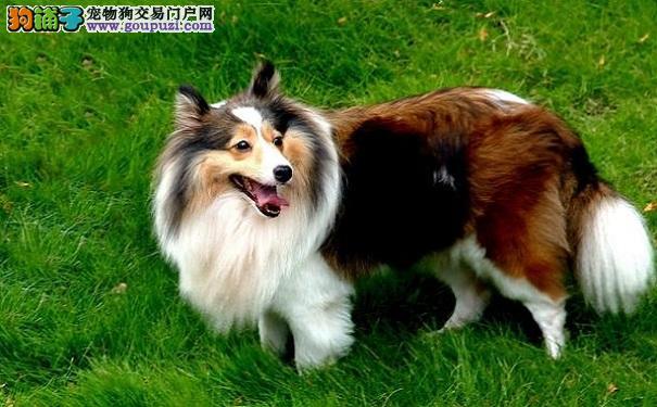 苏格兰牧羊犬的性格特点 温顺可人的苏牧
