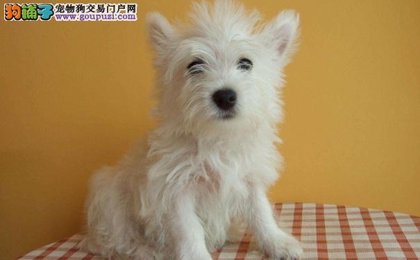 西高地白梗犬的个性特点与外形特征