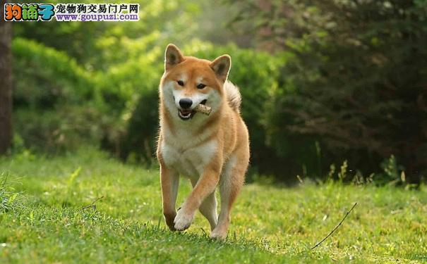 柴犬优缺点 养日本柴犬前必知