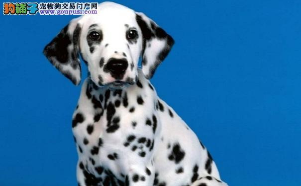 了解斑点狗的个性特点以及健康疾病