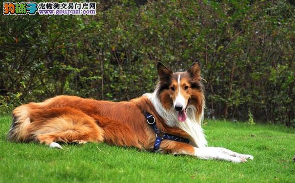 苏格兰牧羊犬的性格 苏牧是很好的家庭伴侣