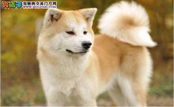 爱干净的秋田犬 日本秋田犬的性格特点