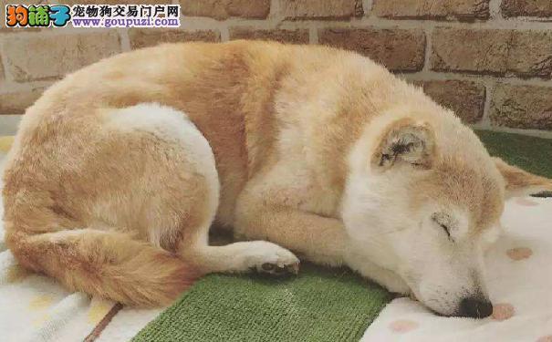 饲养日本柴犬 首先要挑选健康的柴犬幼犬