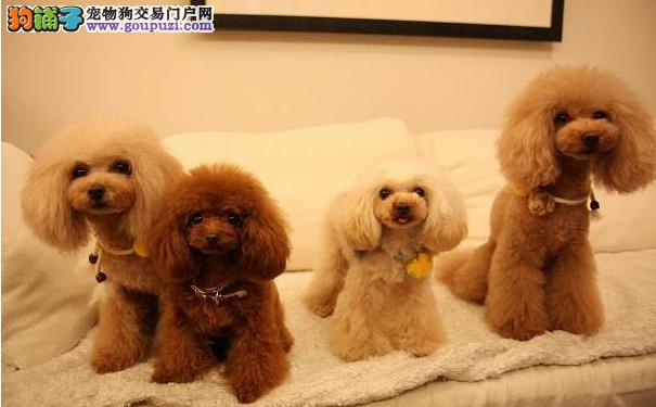 小型犬智商排名 适合家庭饲养的小型犬