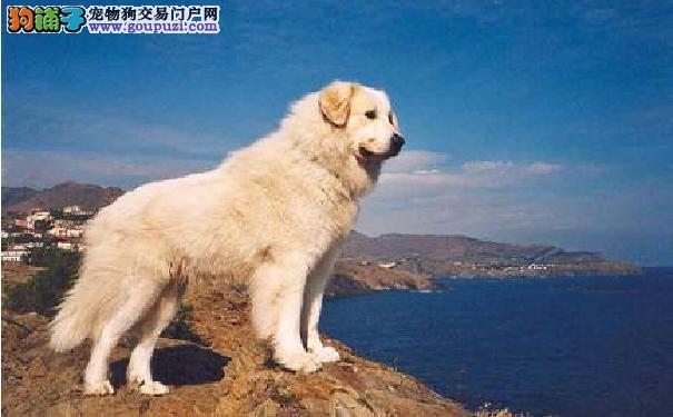 中亚牧羊犬竟是哈萨卡斯坦国宝 中亚牧羊犬的性格