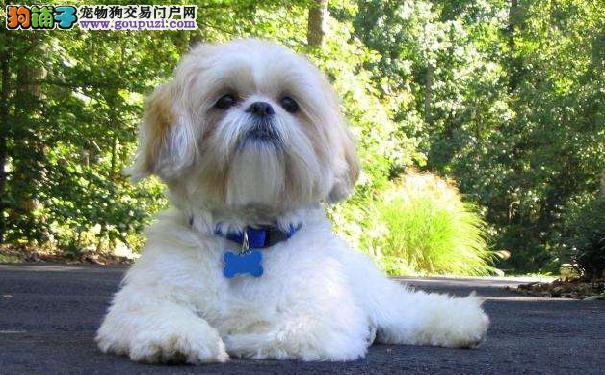 中国贵族西施犬 纯种西施犬价格超乎意料