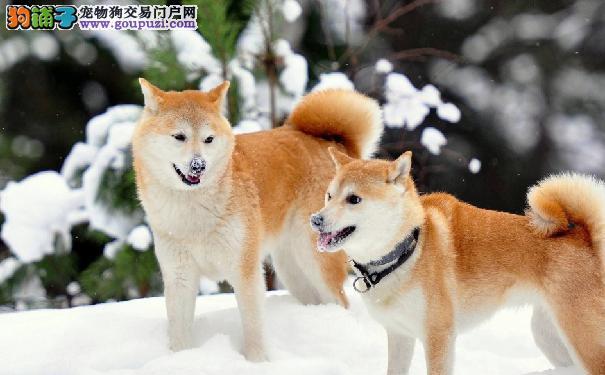 秋田犬患犬细小病毒症状 犬细小病毒怎么预防