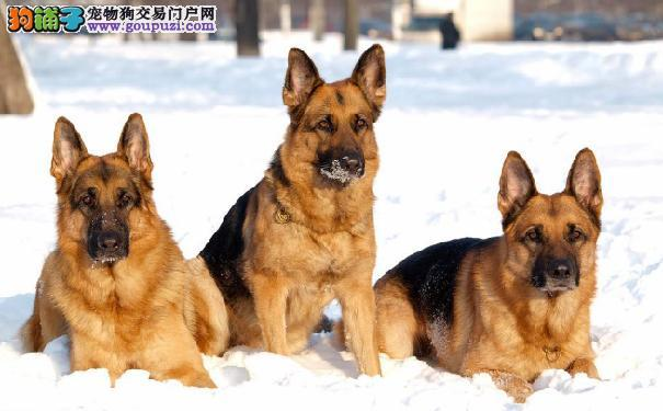 德国牧羊犬缺钙的症状 怎样给德牧补钙