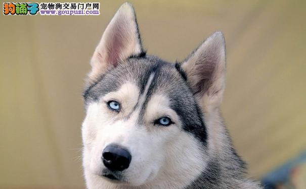 哈士奇打喷嚏 西伯利亚雪橇犬生病的14种症状表现