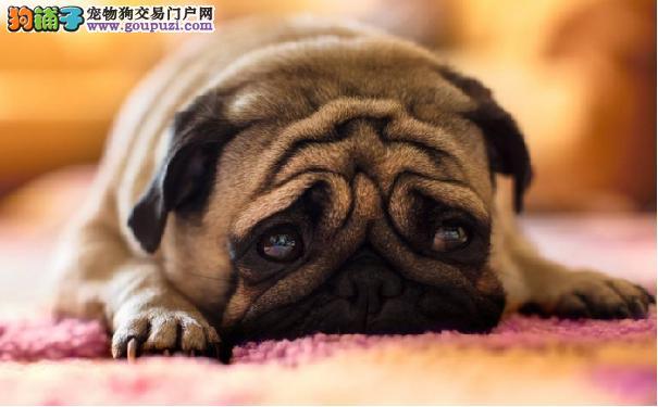 巴哥犬的健康 可从便便来观察