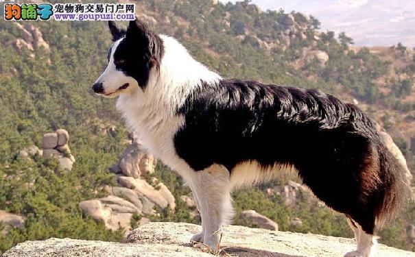 边境牧羊犬智商 边牧训练技巧