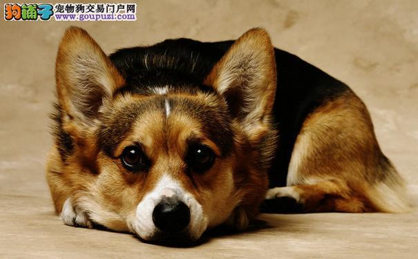 柯基犬小便问题给柯基犬养成良好小便习惯