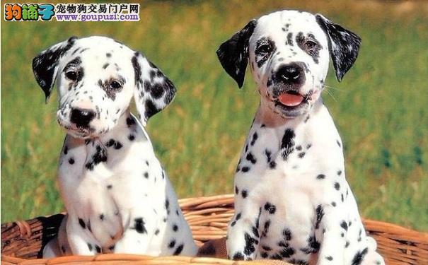 斑点狗无法站立的原因及其治疗方法