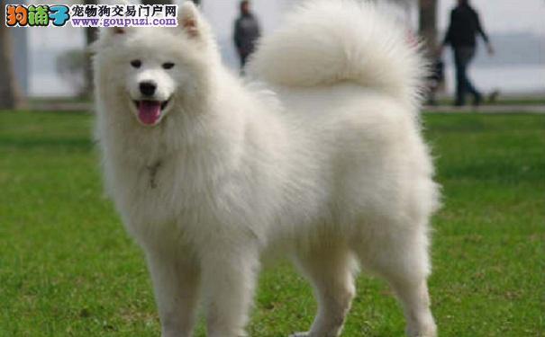 萨摩耶犬太过活泼开朗 甚至有点人来疯怎么办