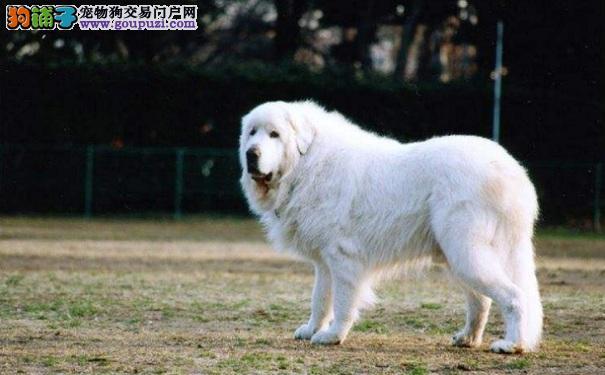 大白熊食欲不好怎么办 怎样解决大白熊犬的食欲问题