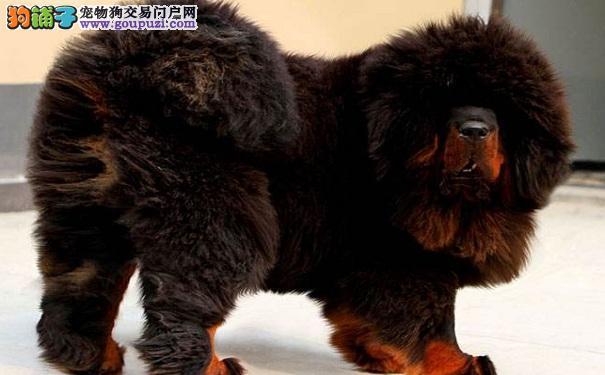 西藏獒犬产后护理注意事项