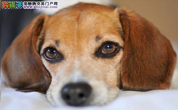 比格犬有点拉稀怎么办 比格犬拉稀的原因及治疗