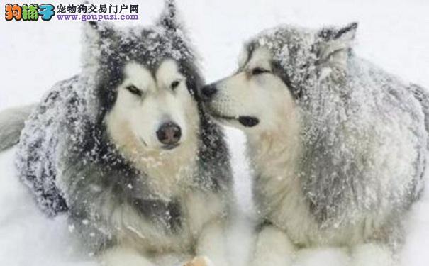 阿拉斯加雪橇犬不吃东西的应对方法