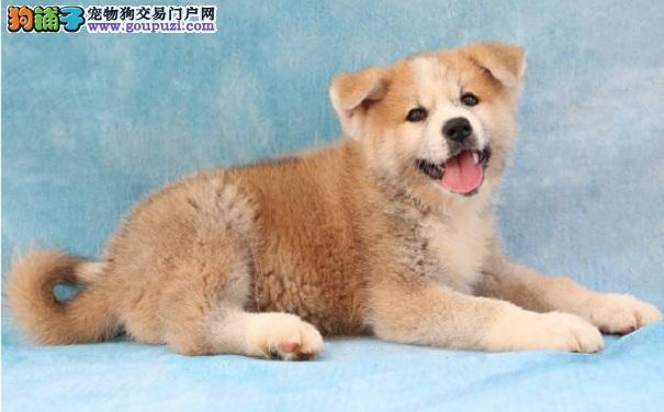 在网上给秋田犬买狗粮的注意事项
