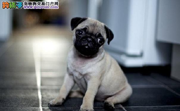 养巴哥犬须知 常见的巴哥犬眼睛疾病