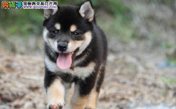 如何训练日系柴犬 训练柴犬坐下的技巧